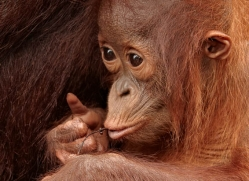 orangutan-3383-borneo-copyright-photographers-on-safari-com