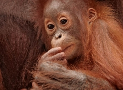orangutan-3386-borneo-copyright-photographers-on-safari-com