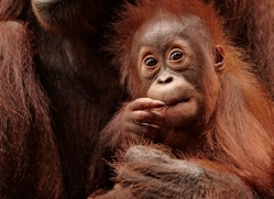 orangutan-3387-borneo-copyright-photographers-on-safari-com
