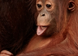 orangutan-3389-borneo-copyright-photographers-on-safari-com