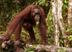 orangutan-3392-borneo-copyright-photographers-on-safari-com