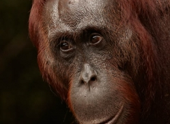 orangutan-3393-borneo-copyright-photographers-on-safari-com