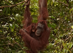orangutan-3395-borneo-copyright-photographers-on-safari-com