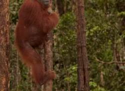 orangutan-3397-borneo-copyright-photographers-on-safari-com