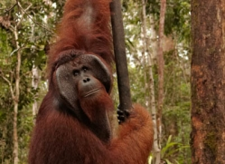 orangutan-3399-borneo-copyright-photographers-on-safari-com
