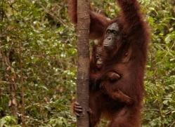 orangutan-3401-borneo-copyright-photographers-on-safari-com