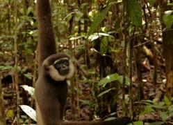 orangutan-3403-borneo-copyright-photographers-on-safari-com