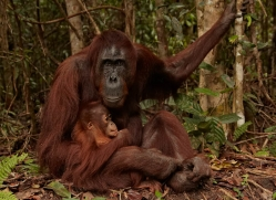 orangutan-3404-borneo-copyright-photographers-on-safari-com