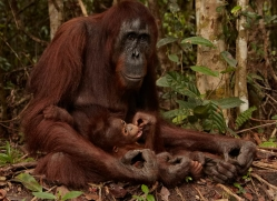 orangutan-3405-borneo-copyright-photographers-on-safari-com