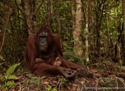 orangutan-3406-borneo-copyright-photographers-on-safari-com