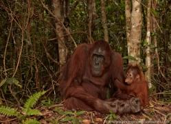 orangutan-3407-borneo-copyright-photographers-on-safari-com