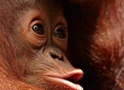 orangutan-3412-borneo-copyright-photographers-on-safari-com