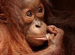 orangutan-3413-borneo-copyright-photographers-on-safari-com