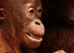 orangutan-3415-borneo-copyright-photographers-on-safari-com