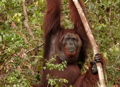orangutan-3417-borneo-copyright-photographers-on-safari-com