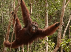 orangutan-3419-borneo-copyright-photographers-on-safari-com