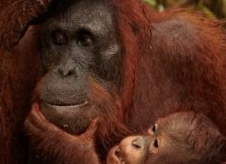 orangutan-3420-borneo-copyright-photographers-on-safari-com