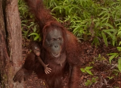 orangutan-3427-borneo-copyright-photographers-on-safari-com