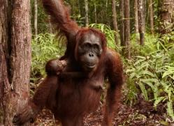 orangutan-3428-borneo-copyright-photographers-on-safari-com
