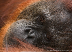 orangutan-3430-borneo-copyright-photographers-on-safari-com