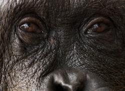 orangutan-3432-borneo-copyright-photographers-on-safari-com