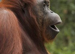 orangutan-3433-borneo-copyright-photographers-on-safari-com