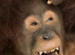 orangutan-3434-borneo-copyright-photographers-on-safari-com