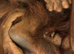 orangutan-3436-borneo-copyright-photographers-on-safari-com