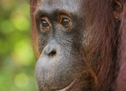 orangutan-3439-borneo-copyright-photographers-on-safari-com