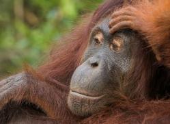 orangutan-3445-borneo-copyright-photographers-on-safari-com