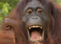 orangutan-3446-borneo-copyright-photographers-on-safari-com