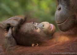 orangutan-3447-borneo-copyright-photographers-on-safari-com