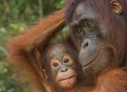 orangutan-3449-borneo-copyright-photographers-on-safari-com