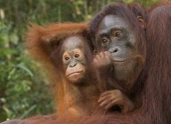 orangutan-3450-borneo-copyright-photographers-on-safari-com