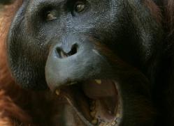 orangutan-3452-borneo-copyright-photographers-on-safari-com