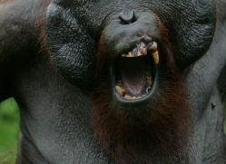 orangutan-3454-borneo-copyright-photographers-on-safari-com