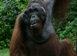 orangutan-3455-borneo-copyright-photographers-on-safari-com
