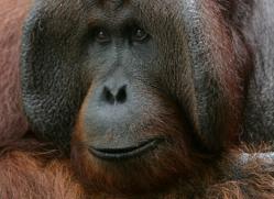 orangutan-3457-borneo-copyright-photographers-on-safari-com
