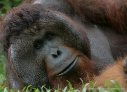 orangutan-3459-borneo-copyright-photographers-on-safari-com