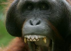 orangutan-3461-borneo-copyright-photographers-on-safari-com