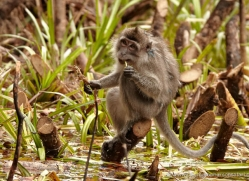 long-tailed-macaque-3333-borneo-copyright-photographers-on-safari-com