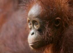 orangutan-3351-borneo-copyright-photographers-on-safari-com