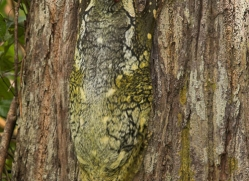 flying-lemur-3326-borneo-copyright-photographers-on-safari-com