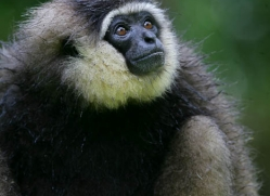 gibbon-3328-borneo-copyright-photographers-on-safari-com