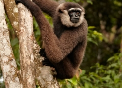 gibbon-3329-borneo-copyright-photographers-on-safari-com