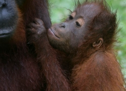 orangutan-3340-borneo-copyright-photographers-on-safari-com
