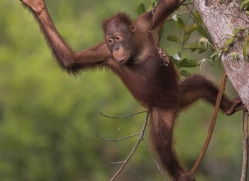 orangutan-3341-borneo-copyright-photographers-on-safari-com