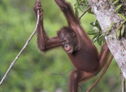 orangutan-3343-borneo-copyright-photographers-on-safari-com