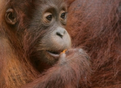 orangutan-3345-borneo-copyright-photographers-on-safari-com