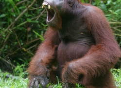 orangutan-3347-borneo-copyright-photographers-on-safari-com